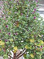Lavatera arborea01.jpg