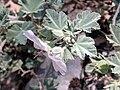Lavatera maritima4.jpg