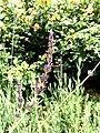 Lavender bee (15921478145).jpg