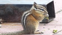 Datei:Least chipmunk (Eutamias minimus) eating.webm