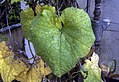 Leaves of Luffa aegyptiaca (01).jpg