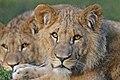 Leeuw (Lion) 001329 (23074910606).jpg
