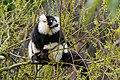 Lemur (26618863757).jpg