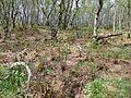 Lenzie Moss - birch woods and ferns.JPG