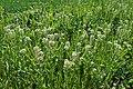 Lepidium campestre kz01.jpg