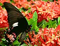 Lepidoptera Ana Cotta 2396866450.jpg