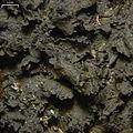 Leptogium austroamericanum - Flickr - pellaea (2).jpg