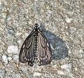 Lesser Mime (Chilasa epycides) at Samsing, Duars, WB W IMG 6421.jpg
