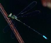 Lestidae (Orolestes wallacei) maschio (14242862012).jpg
