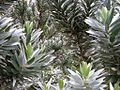 Leucadendron argenteum - Silvertree - foliage 9.jpg