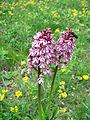Leutratal-Orchis-purpurea-2472.jpg