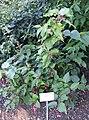 Leycesteria formosa - Bergianska trädgården - Stockholm, Sweden - DSC00196.JPG