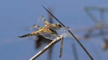 File:Libellula quadrimaculata.ogv
