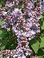 Lilak pospolity Syringa vulgaris RB2.JPG
