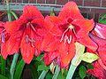 Lilies Amaryllis maybe.jpg