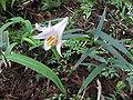 Lilium japonicum1.jpg