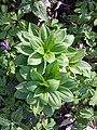 Lilium martagon sl7.jpg
