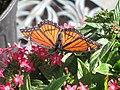 Limenitis archippus- Viceroy Butterfly.jpg