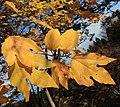 Lindera triloba (autumn leaf color s3).jpg