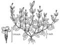 Lindernia dubia NRCS-1.png