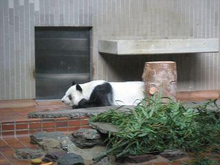 Ling Ling (giant panda) male giant panda