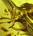 Linguamyrmex vladi AMNH-BUPH01 head profile.jpg