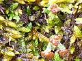 Liquen Cladonia ramulosa Enfoque 2011-2-20 PtoNiefla SierraMadrona.jpg