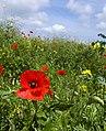 Little Leven poppy - geograph.org.uk - 1344051.jpg