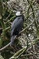 Little Pied Cormorant - Stewart Island - New Zealand (38278189915).jpg