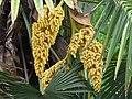 Livistona-chinensis-blossoms.jpg