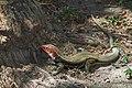 Lizard (15467334313).jpg
