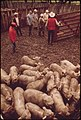 Loading Sheep for Return to Pasture Or Slaughter from a Ranch near Leakey, Texas, and San Antonio, 05-1973 (3703576033).jpg