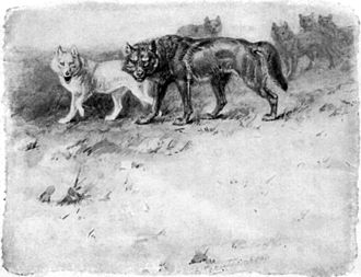 Nature fakers controversy - Illustration of the wolf Lobo and his mate Blanca, by Ernest Thompson Seton
