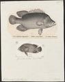 Lobotes auctorum - - Print - Iconographia Zoologica - Special Collections University of Amsterdam - UBA01 IZ13000195.tif