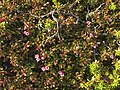 Loiseleuria procumbens greplyng Blefjell IMG 1563.jpg
