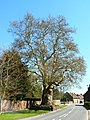 London Plane tree, Chilton Foliat, Wiltshire - geograph.org.uk - 406830.jpg