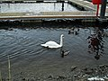 Lone swan at Round 'O' Quay, Enniskillen - geograph.org.uk - 1719724.jpg