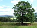 Lone tree - geograph.org.uk - 1399467.jpg