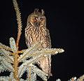 Long-eared owl (44010264665).jpg