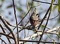 Long tailed shrik (Lanius schach) 10.jpg