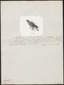 Lorius fuscatus - 1872 - Print - Iconographia Zoologica - Special Collections University of Amsterdam - UBA01 IZ18500306.tif