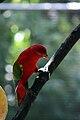 Lorius garrulus -Melaka Zoo-8a.jpg