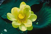 Lotus flower nelumbo nucifera.jpg
