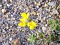 Lotus glareosus FlowersCloseup 2009-7-25 SierraNevada.jpg