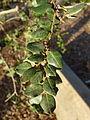 Luma apiculata - San Luis Obispo Botanical Garden - DSC05994.JPG