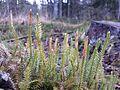 Lycopodium annotinum sl9.jpg