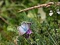 Lysandra coridon CF9A9323.jpg