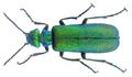Lytta vesicatoria (Linné, 1758) (32966331712).png