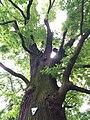 Mächtiger Stamm von Quercus robur (Sommer Eiche, Stiel-Eiche) im Park am Stichkanal in Berlin-Köpenick.jpg