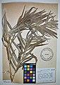 MNH DA 017-PAND-036 Freycinetia multiflora Merr.jpg